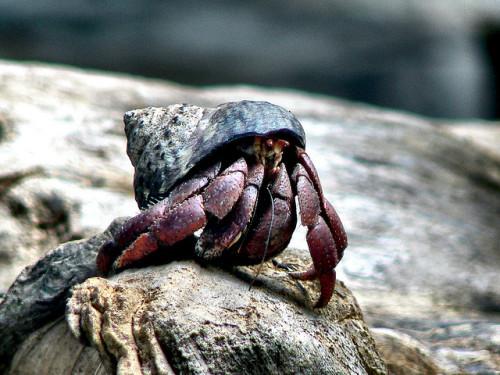 animals-animals-animals: Hermit Crab(by BBM Explorer)