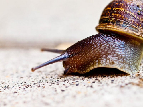 animals-animals-animals: Snail (by Inkyhack)