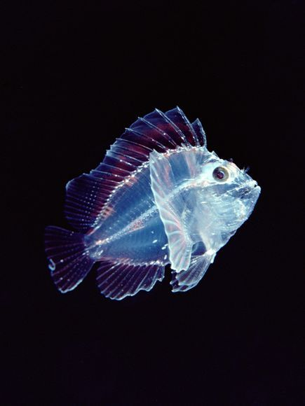 Larval Leaf Scorpionfish Photograph by Chris Newbert, Minden Pictures