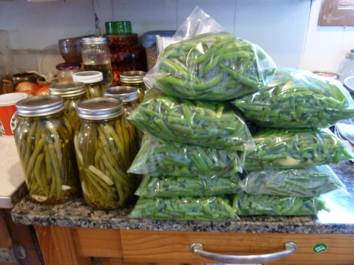what NOT to do on a hot day, must it must be done! 15 qrts of green beans blanched and bagged, now in the freezer!