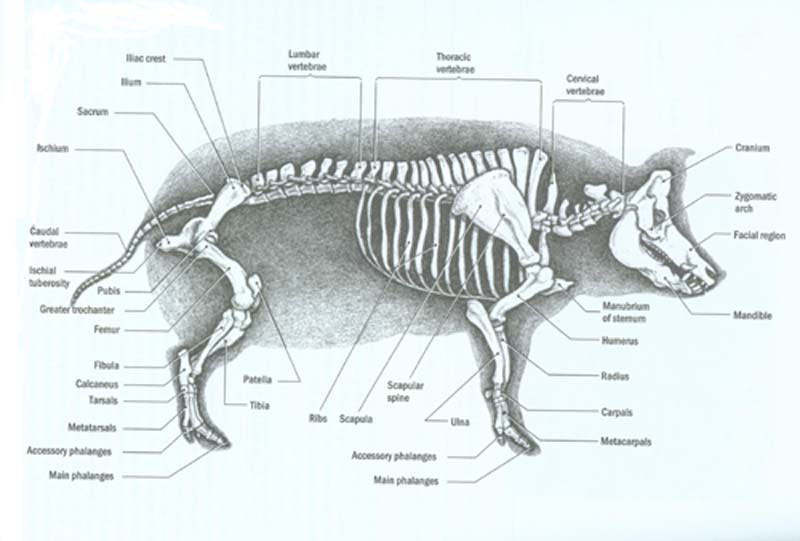Fetal Pig Bones Anatomy