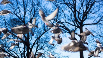 Tauben im Central Park