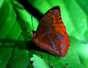 FLAME BORDERED CHARAXES SIDE VIEW