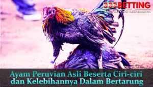 Ayam-Peruvian-Asli-Beserta-Ciri-ciri-dan-Kelebihannya-Dalam-Bertarung