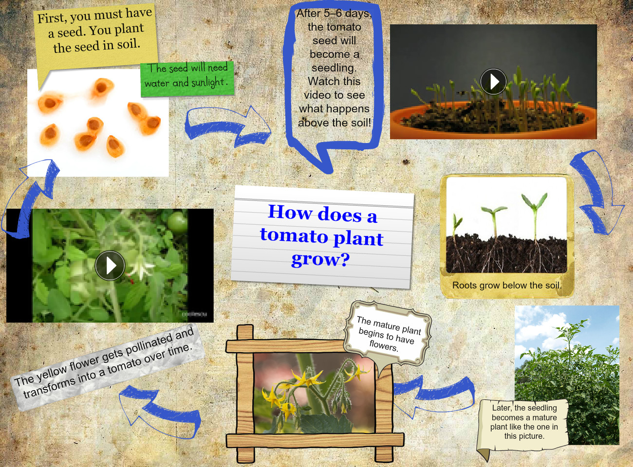 Life Cycle Of A Tomato Plant Text Images Music Video