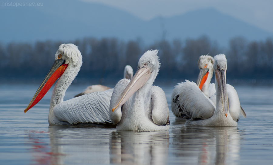 Pelicans at Kerkini Lake