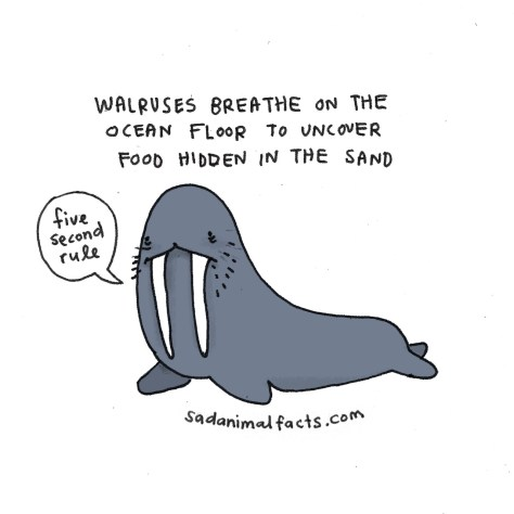 I've got some bad news about walruses.