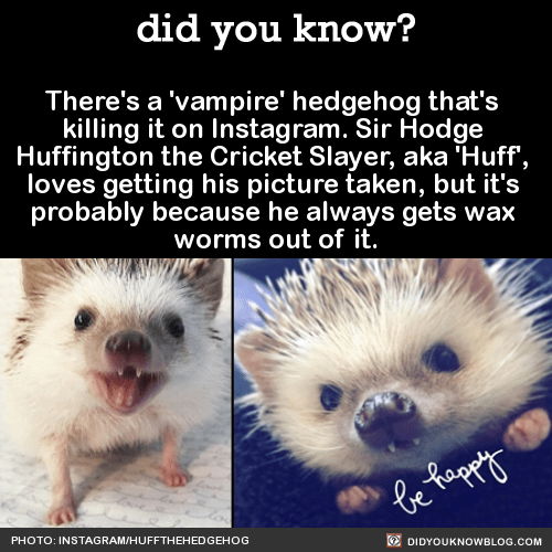 """There's a 'vampire' hedgehog that's killing it on Instagram. Sir Hodge Huffington the Cricket Slayer, aka 'Huff', loves getting his picture taken, but it's probably because he always gets wax worms out of it. Before Huff was adopted by student Carolyn Parker, his previous owner treated him badly. """"A lot of people in Utah struggle with seasonal depression-including myself."""" """"I started the account because I wanted to share something that made me happy with other people.""""""""Huff comes off as being grumpy and """"huffy"""" but is really lovable and cuddly on the inside."""" """"I think that's why there is such a large fan base for hedgehogs…because a lot of people can relate."""" HufftheHedgehog Instagramh/t Bored Panda"""
