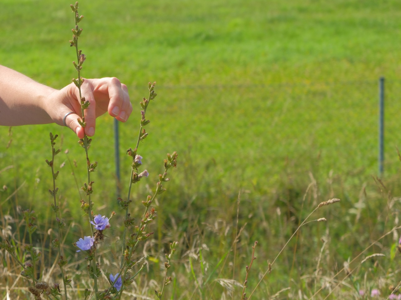 mangia minga // 'Wildkräuter: Foraging Wild Herbs' Wegwarte - wild chicory