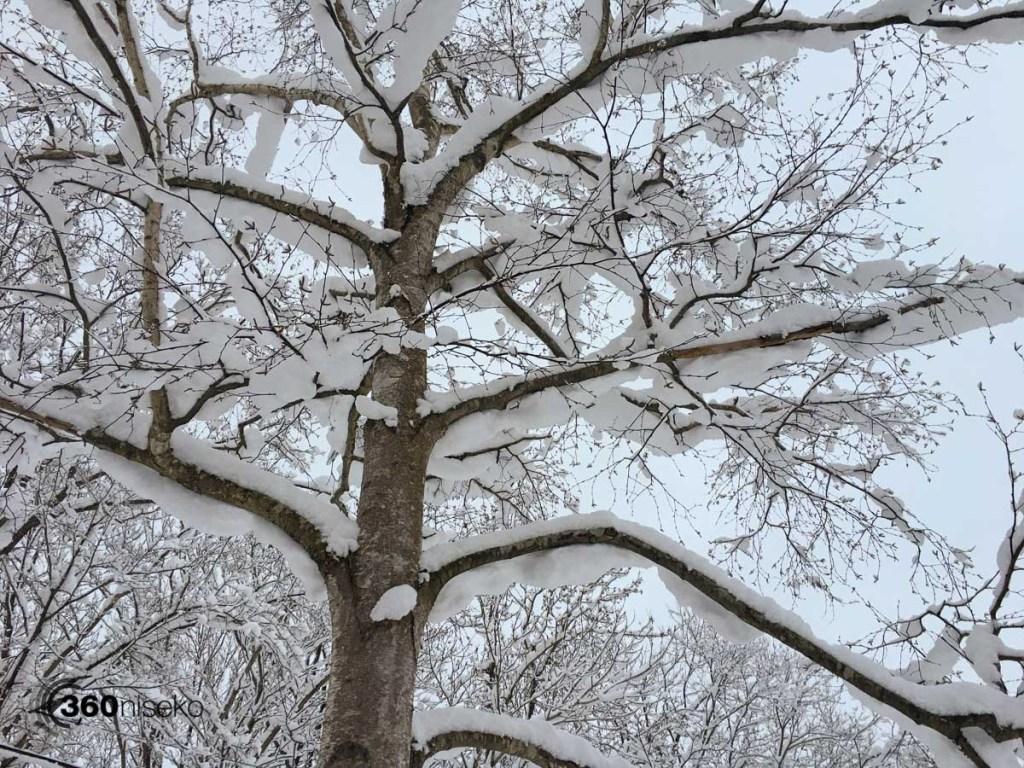 Loaded Trees, 21 November 2017