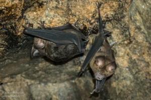 Bats in Kamikaze cave 2