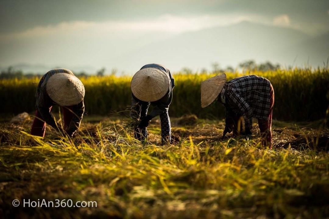 Hoi An Countryside - Rice Harvest