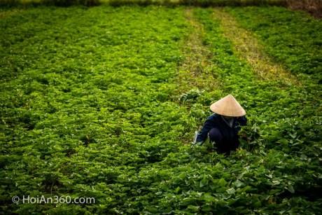 Hoi An Countryside - Harvesting
