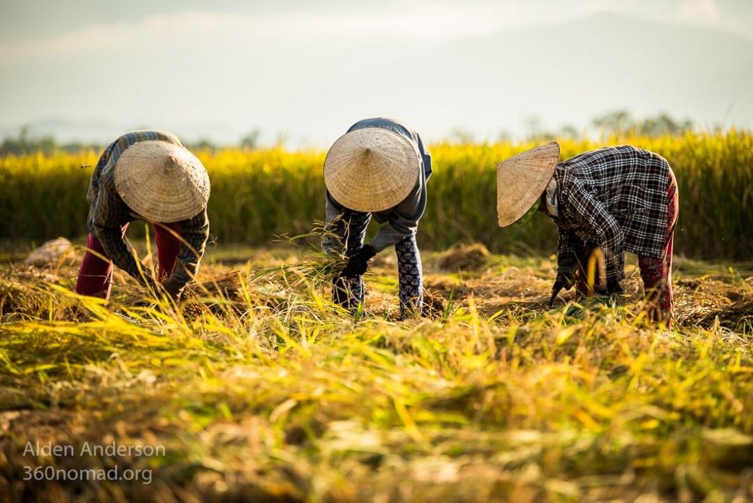 Traditional Rice Harvest, Hoi An, Vietnam