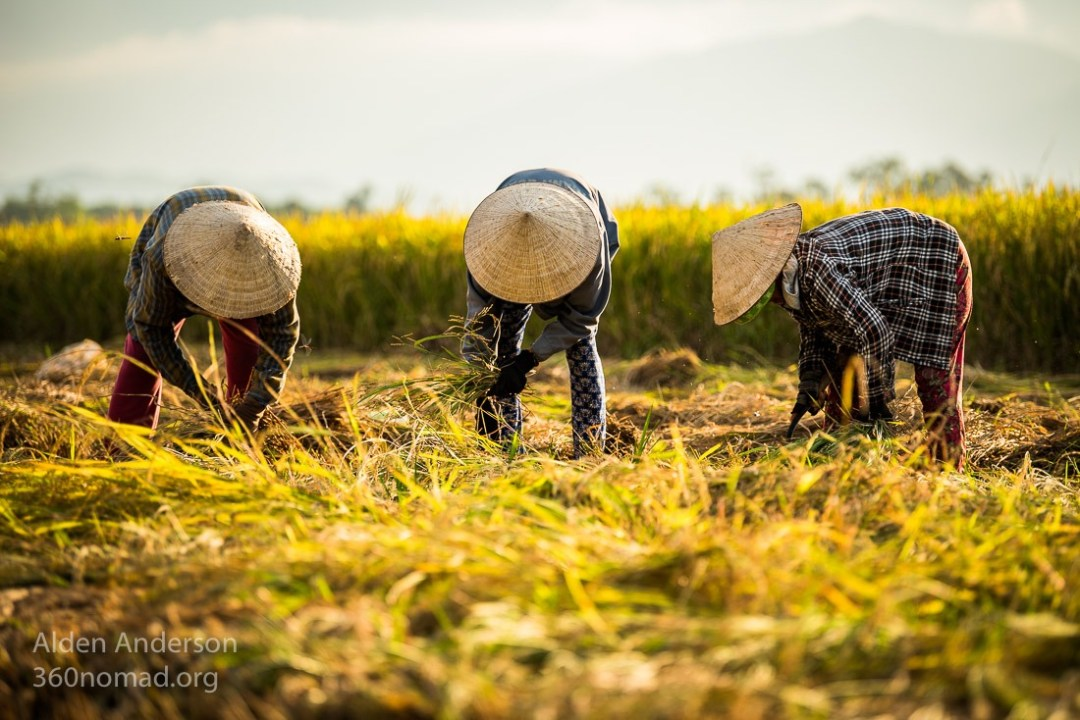 Traditional Rice Harvest, Hoi An, Vietnam