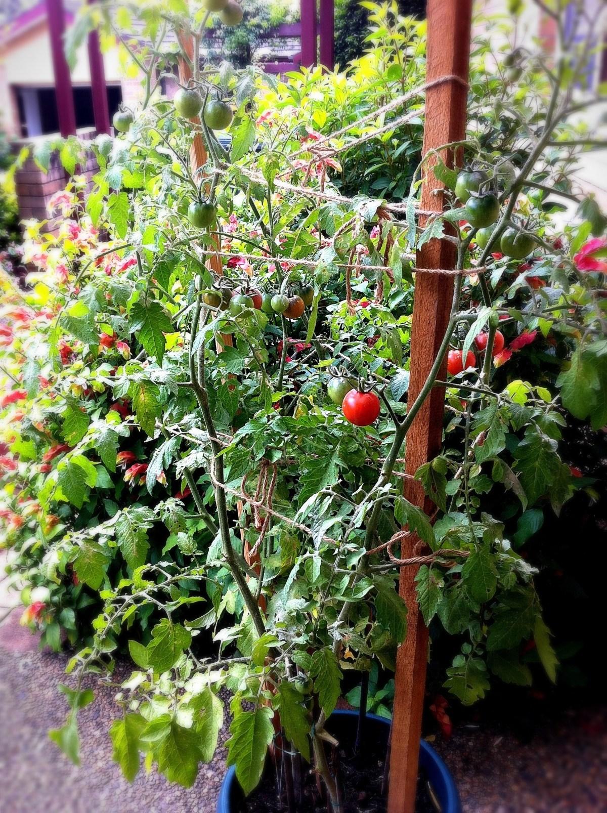 006: Tomato tree