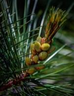 pine1.2