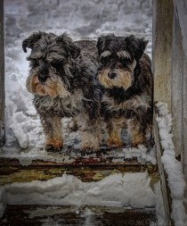 The Schnauzer Girls are looking forward to spring