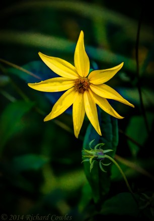 sunflower1.6