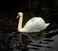 swan1.6