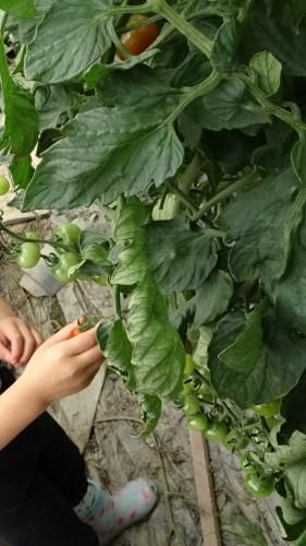 「野菜の収穫」(1)