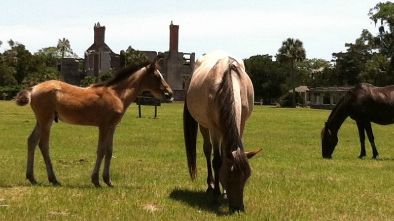 Cumberland Island horses at the Greyfield Inn