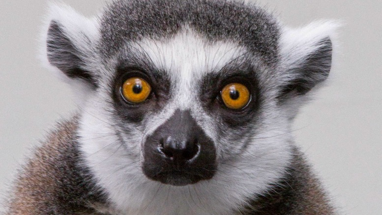 Lemur Forest is new at the Tennessee Aquarium in Chattanooga, TN