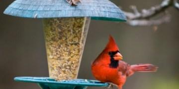 Cardinal on Birdfeeder