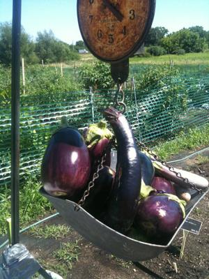 Smart Farm Eggplant