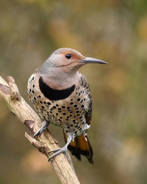 Birds of Barrington - Northern Flicker