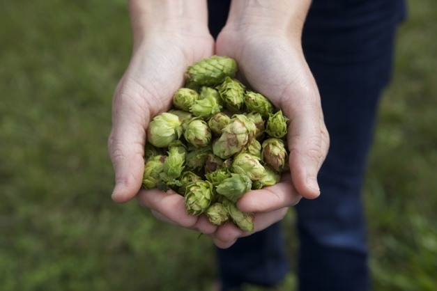 A handful of fragrant hops - photographed by Julie Linnekin