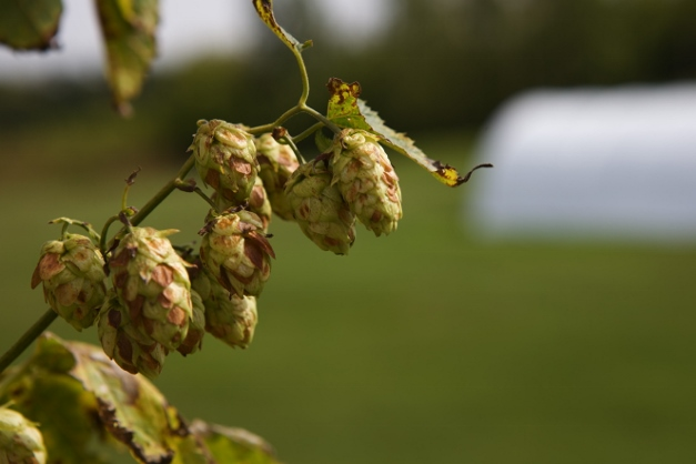 The hops, ready for harvest - photographed by Julie Linnekin