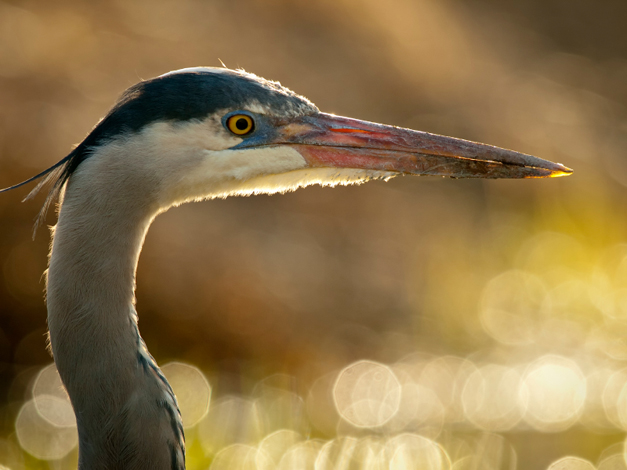 Birds of Barrington with Wendy Paulson: The Great Blue Heron