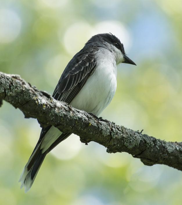 Birds of Barrington with Wendy Paulson: The Eastern Kingbird
