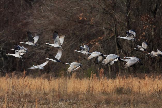 Wendy Paulson's Birds of Barrington - Sandhill Crane