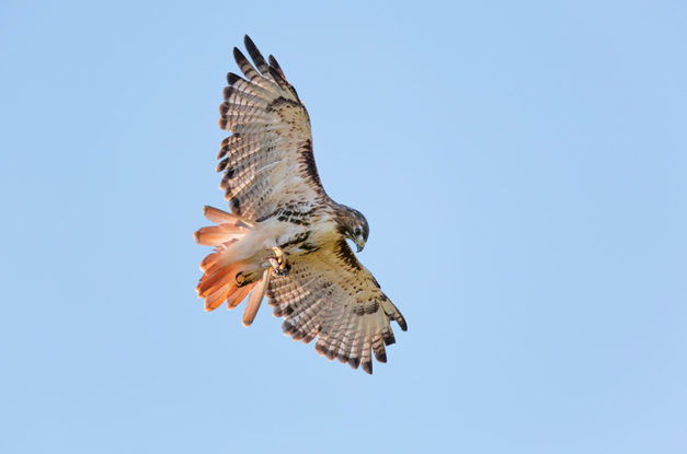 Wendy Paulson's Birds of Barrington: Red-tailed Hawk