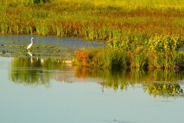 Great White Egret - Photo by Diane Bodkin