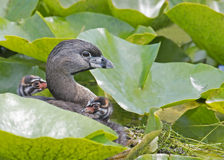 Post 900 - Pied Billed Grebe - Mother with Young