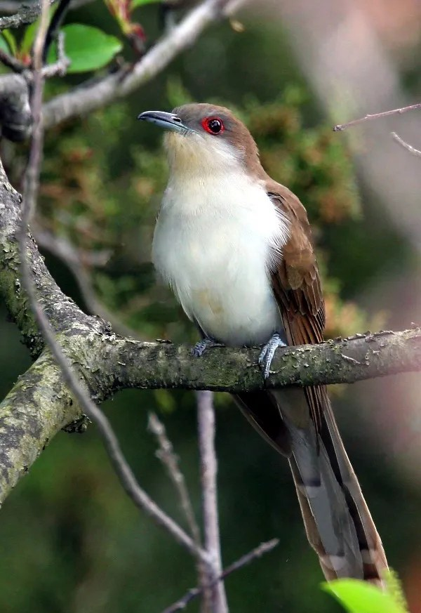 Black-billed Cuckoo - Photo by Wolfgang Wander