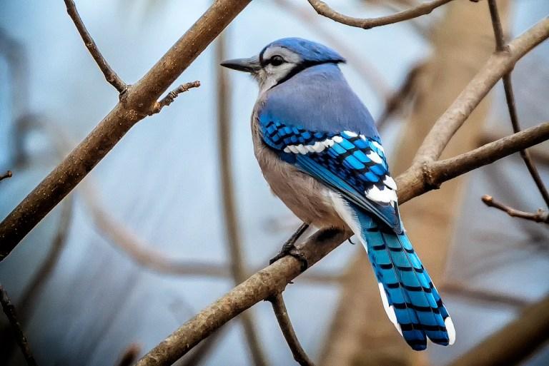 birds of barrington with wendy paulson bold blue 365barrington