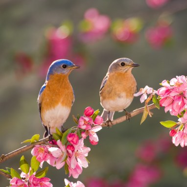 Eastern Bluebird Couple