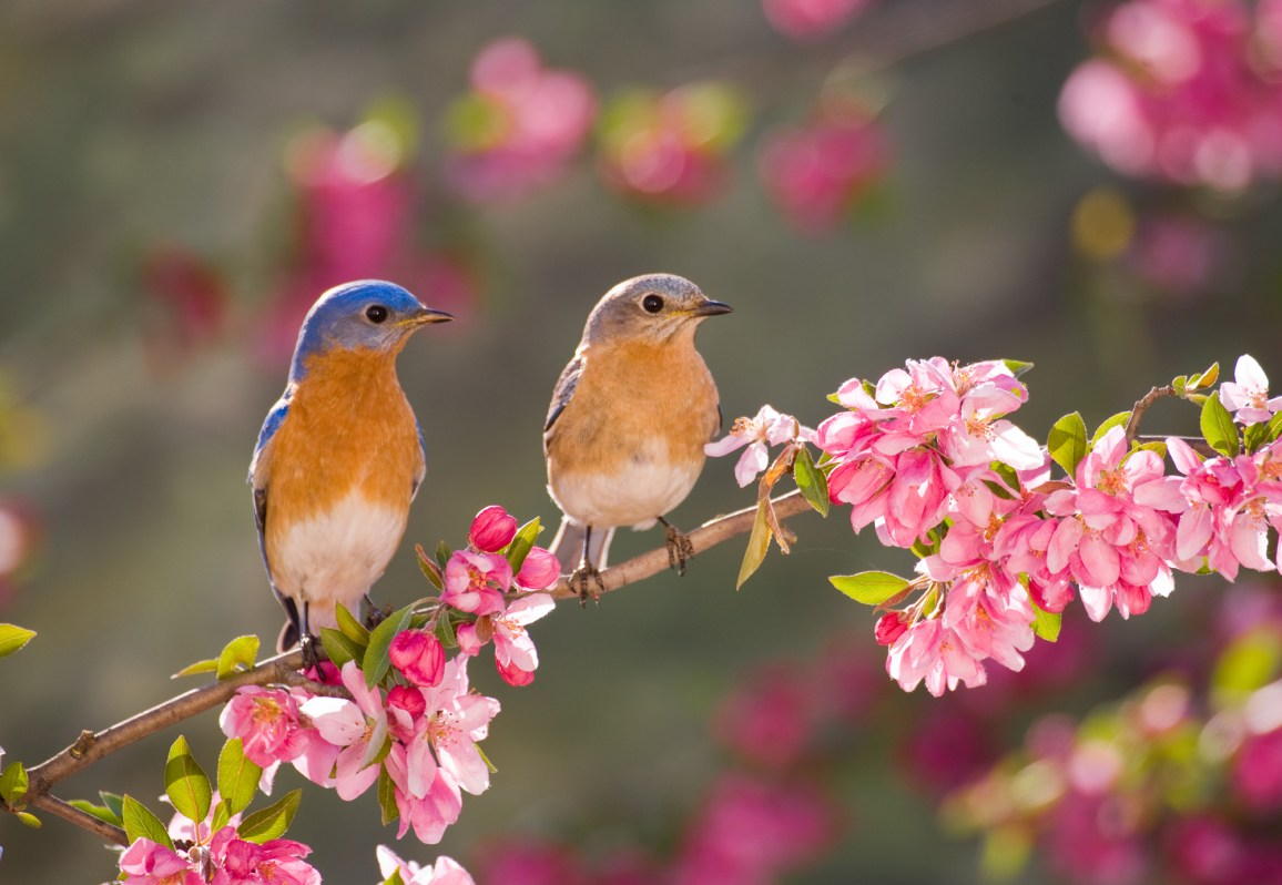 Eastern Bluebird Couple, male and female