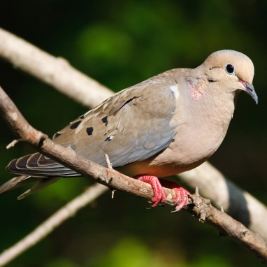 A mourning Dove sitting on a tree limb