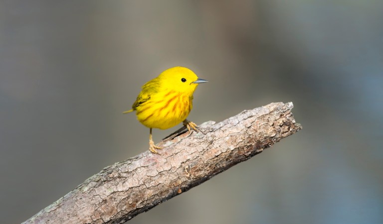Birds of Barrington with Wendy Paulson | Yellow Warbler