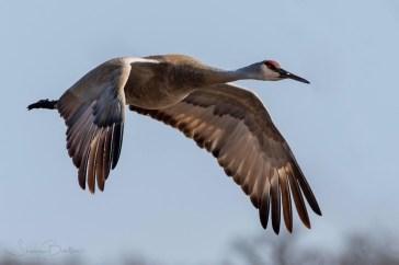Birds of Barrington - Sandhill Crane - Photo by Steve Barten
