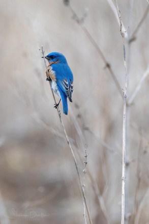 Birds of Barrington - Eastern Bluebird - Photo by Steve Barten