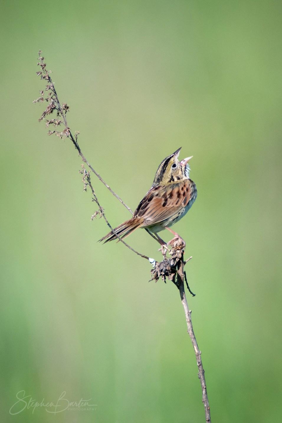 Birds of Barrington - Henslow's Sparrow - Photo by Steve Barten