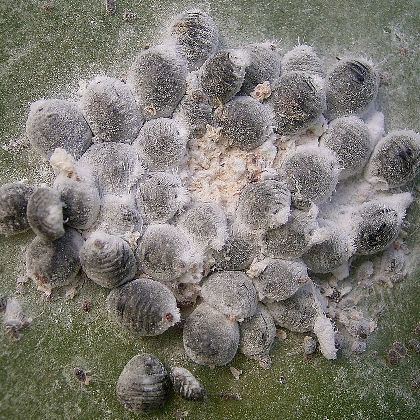 Cochineal Insects Cluster Photo by Frank Vincentz
