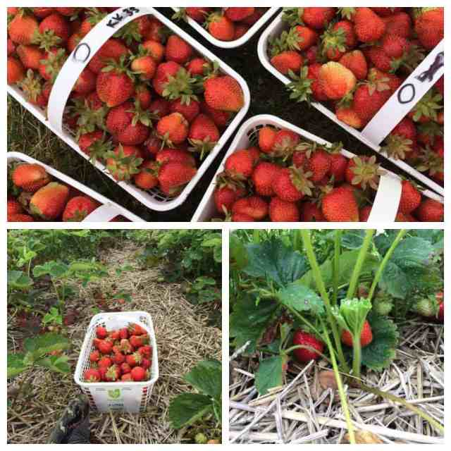 Strawberry Picking for my birthday