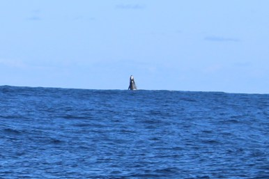 Whale breaching!
